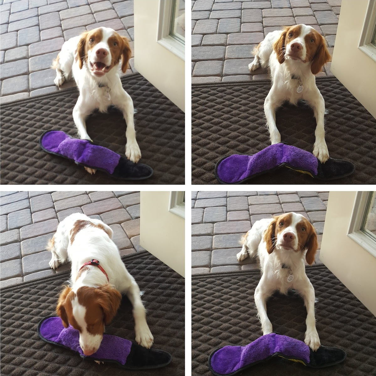 Florida Brittany Rescue: Adoptable Brittany Dogs   Adoptable ...