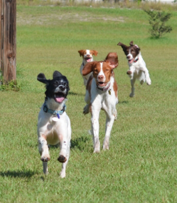 Florida Brittany Rescue: Our Brittany Dogs Available for